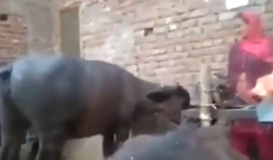 buffalo dancing